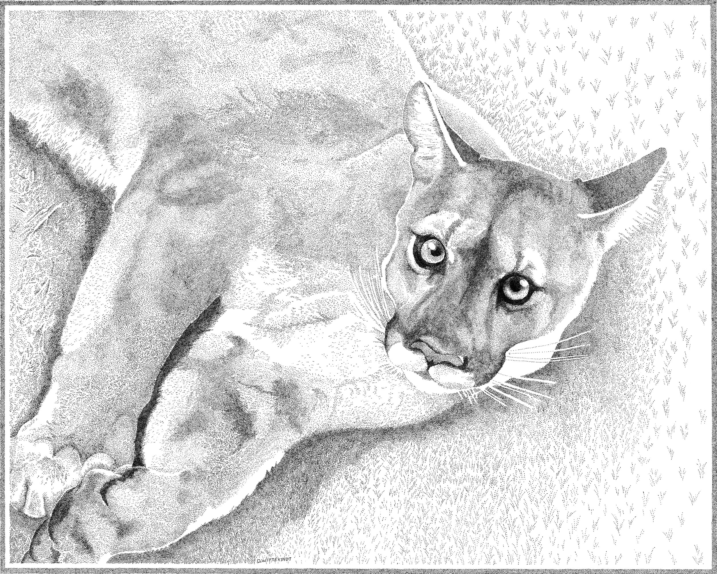 Harper the cougar