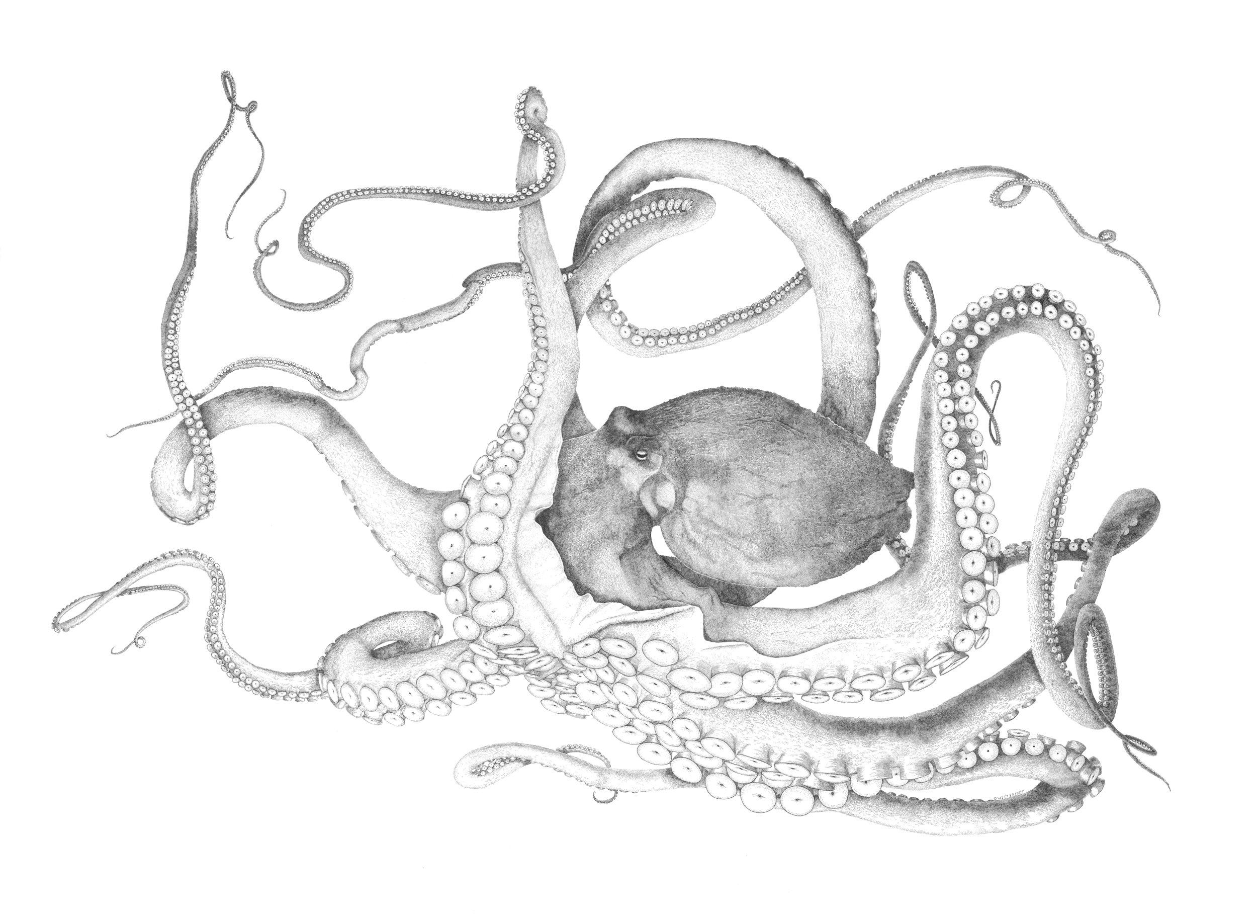 Large Octopus - flattened.jpg