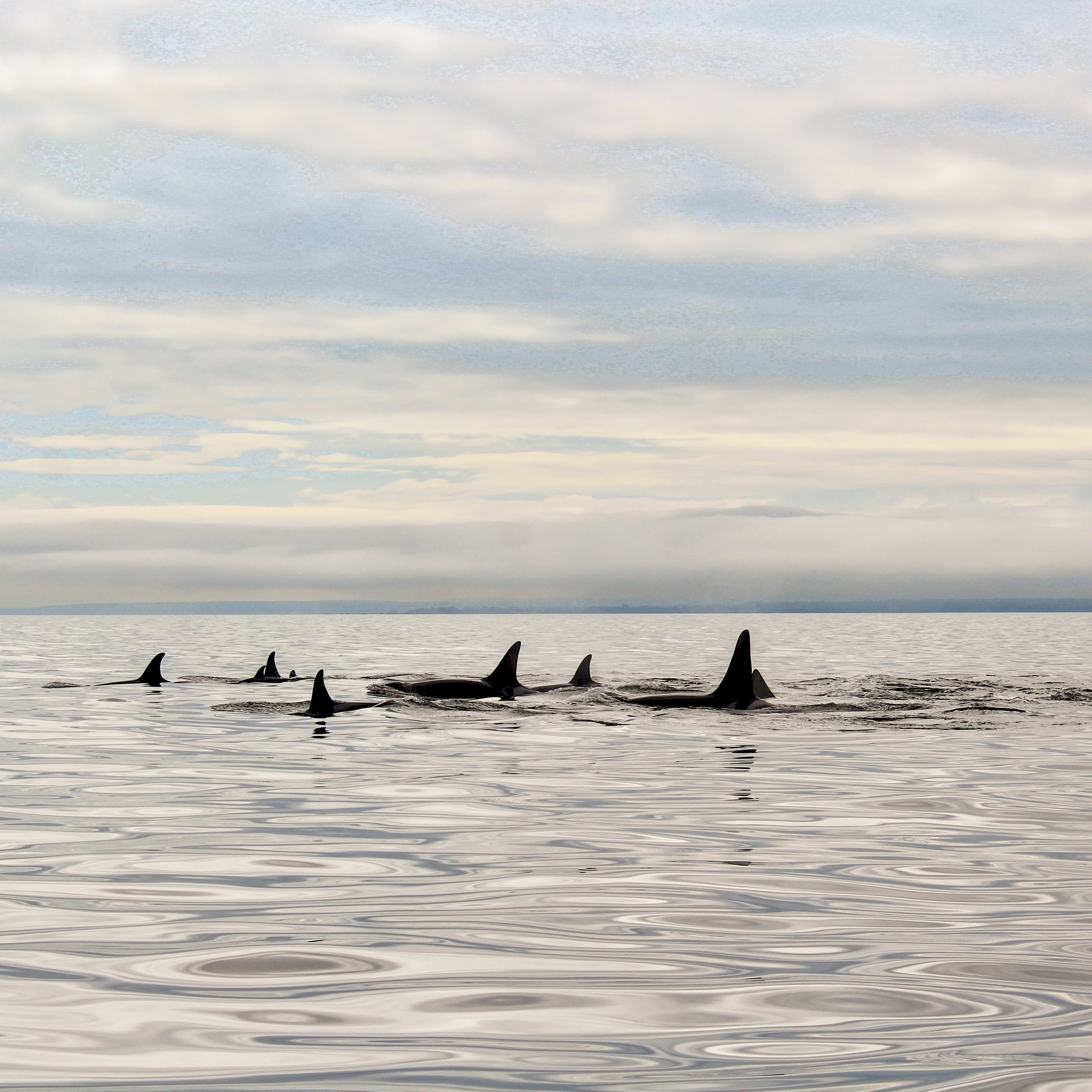 A pod of Orca whales spotted during our whale watching tour