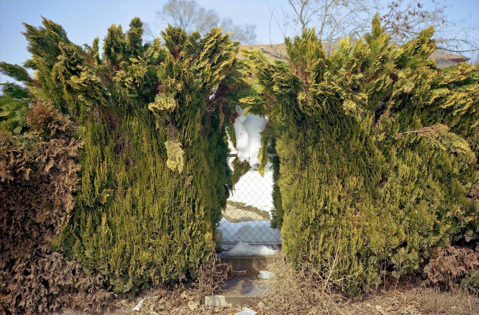 Hedges, Longmont, CO.