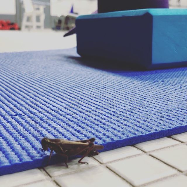 """The adventures of Jiminy Cricket, the Grasshopper...a tale of woe...for when that one annoying yogi keeps inviting you to flow, & you know you won't regret it & you're a tad bit scared it might change your life, but ya still need that extra gentle nudge 🤣👏🦗 Jiminy's thought process goes a little something like, """"Feeling cute. Might do yoga later, IDK""""  To... Ok, I'm ready. Bring it on!  To... Ok, fuck this hippie fertilizer o'clock ...I'm outta here... To... What're these hooomans doing? Are they napping? This doesn't seem so bad...🤔 To.. Mmmmnoooo-kay. I'll stick around. Maybe be your spirit animal insect mascot or something. Baby steps, young grasshoppers.  Love, -an even younger grasshopper  #JiminyCricket #Grasshopper #GrasshopperPose #GrasshopperSpiritTotem #SpiritAnimal #Mascot #YogaBuddy #DontWastYourTime #GetOnTheMat #SoWhatYouNeed ...not what's easier #gentlenudges"""
