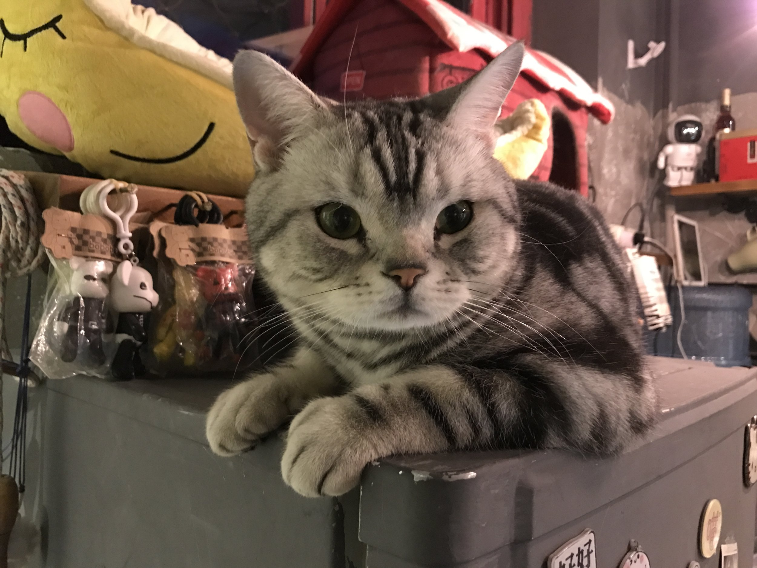 Cat World features only American shorthair with a distinct black and gray pattern