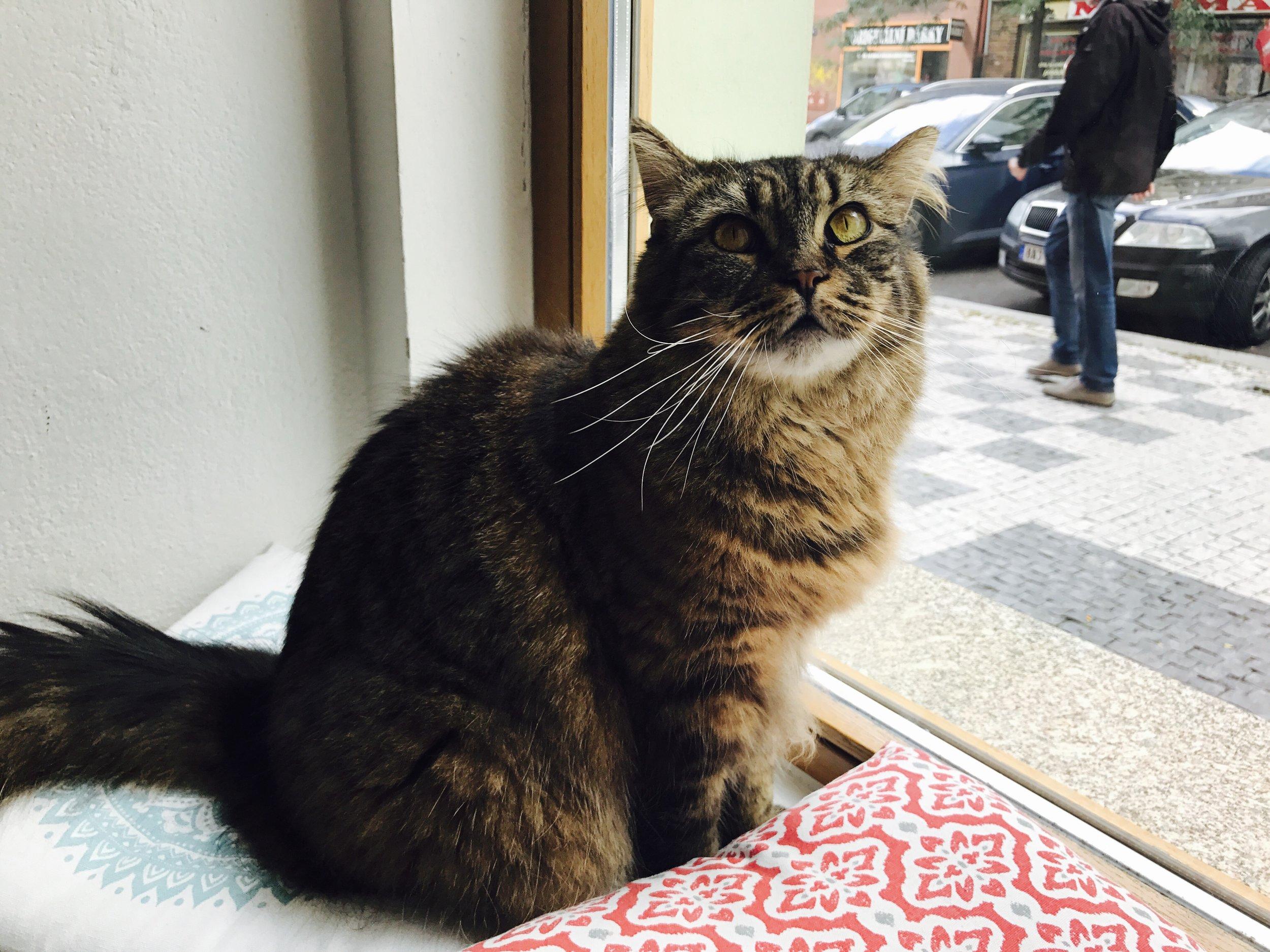 Nine cats live at Kavarna Kocici, including Skorice
