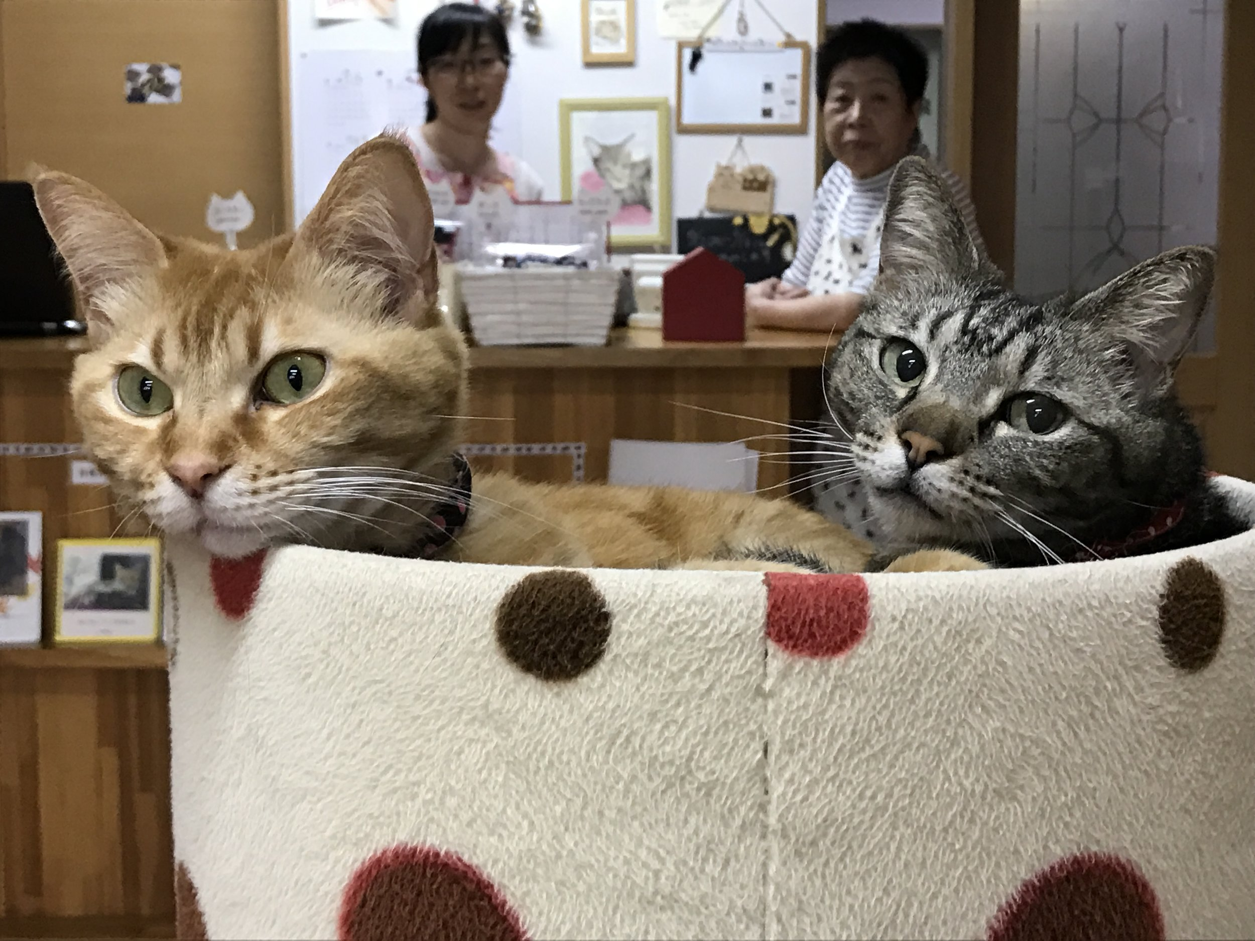 All of the 13 cats at Cat Cafe Nekokaigi are street rescues