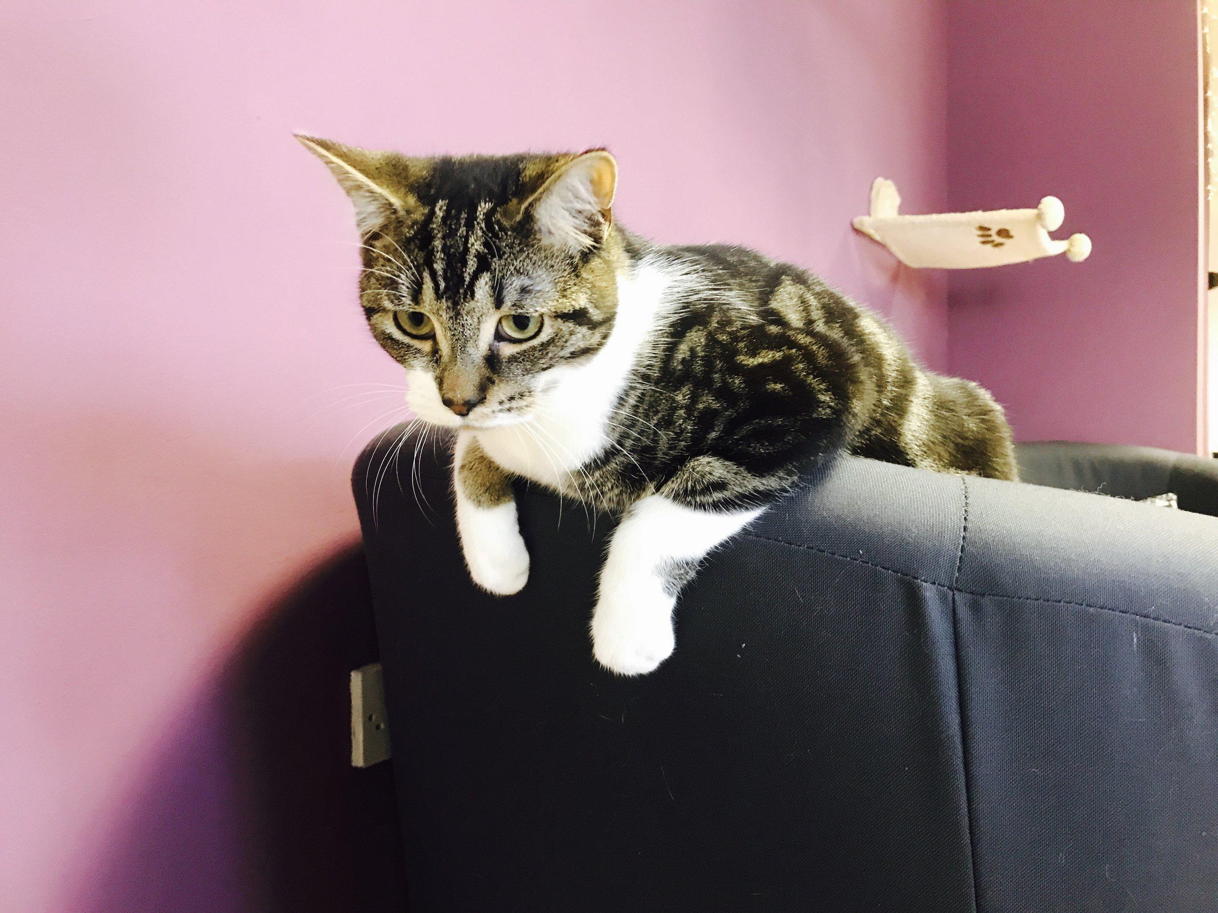 Freddie: Feline Good Cat Cafe Cardiff