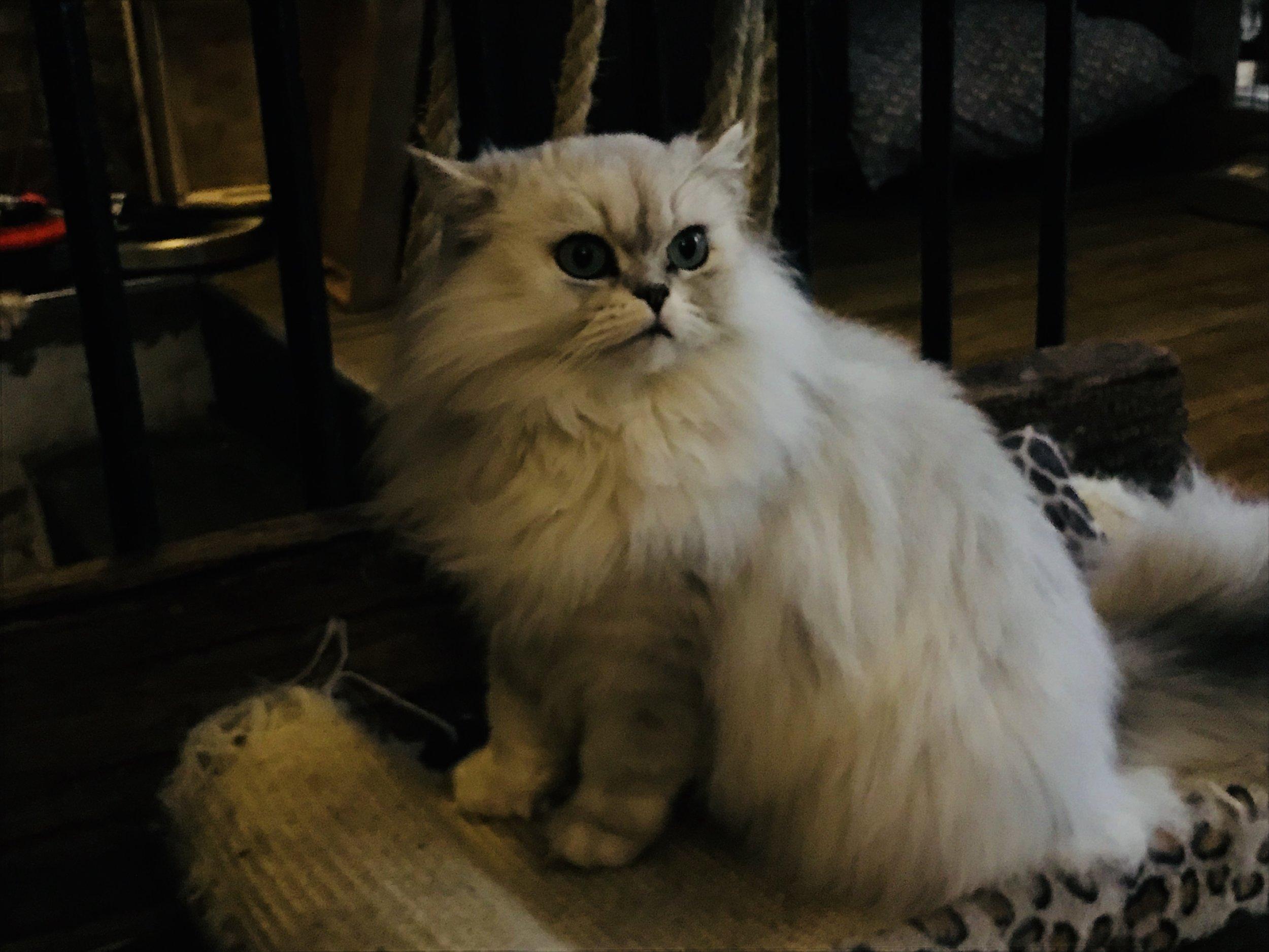 Misty:  Cat Village London
