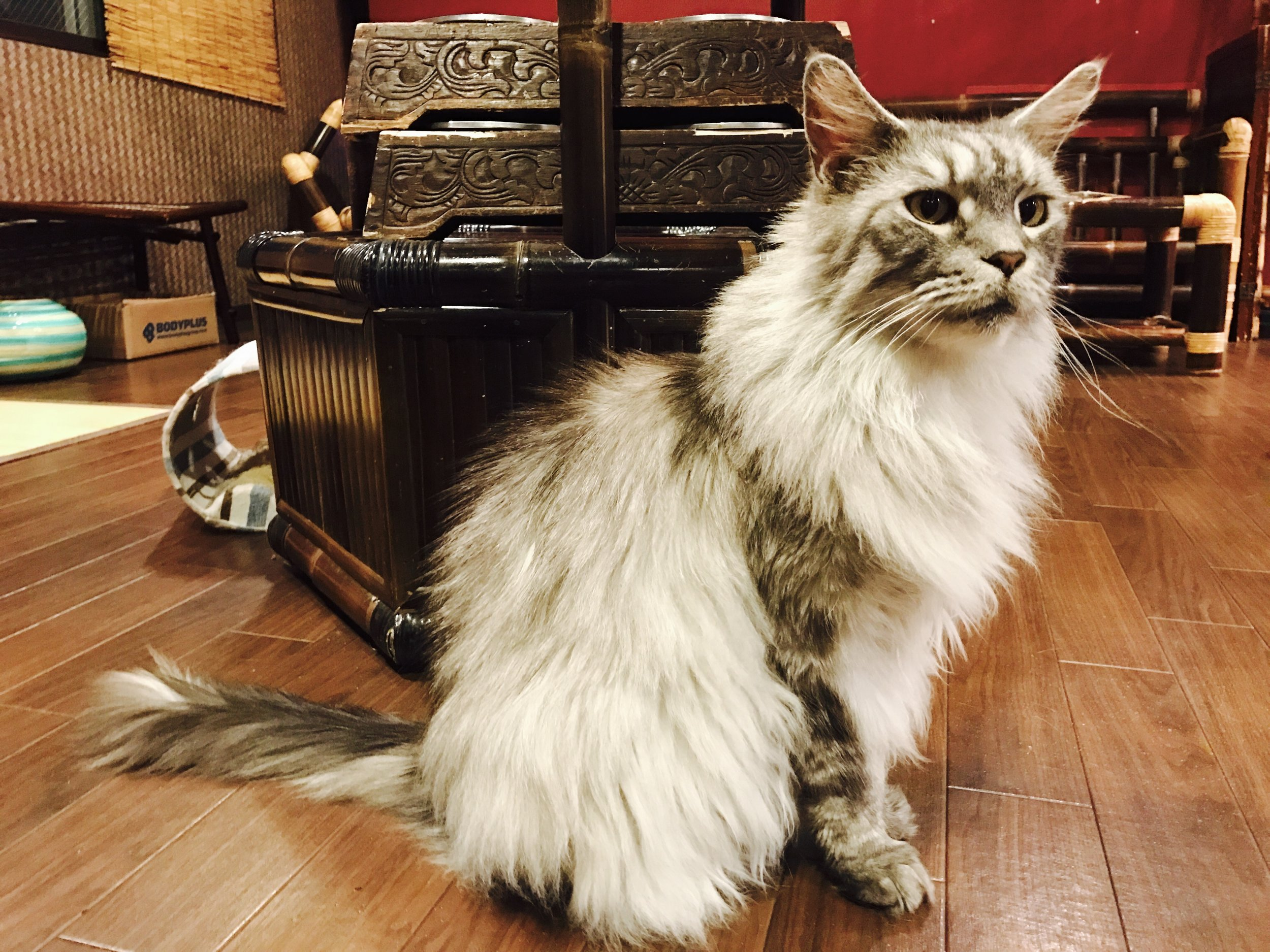 A long-haired feline poses at Gurugurudo Neko Cafe