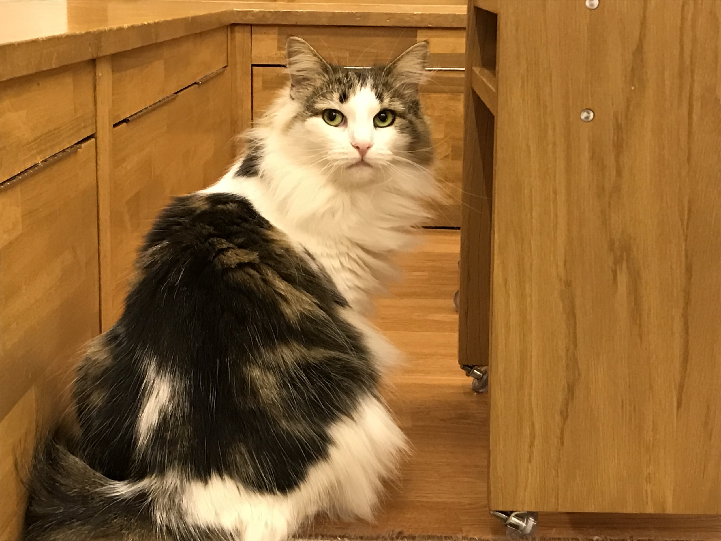 There are many gorgeous long-haired cats in residence like Maine Coon and Norwegian Forest