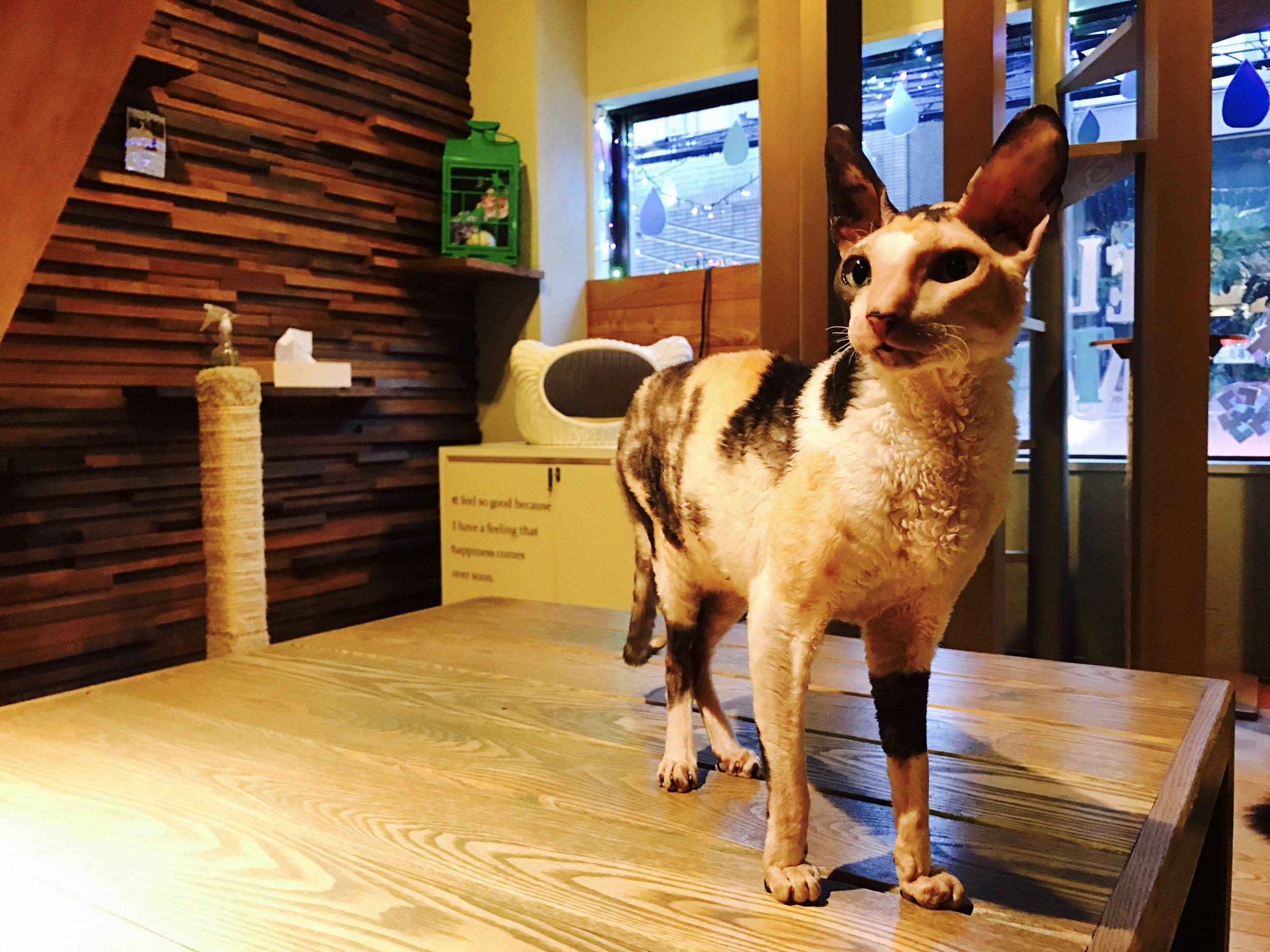 Cat of Liberty (Neko no Jikan) has a variety of exotic cats, including this Devon Rex