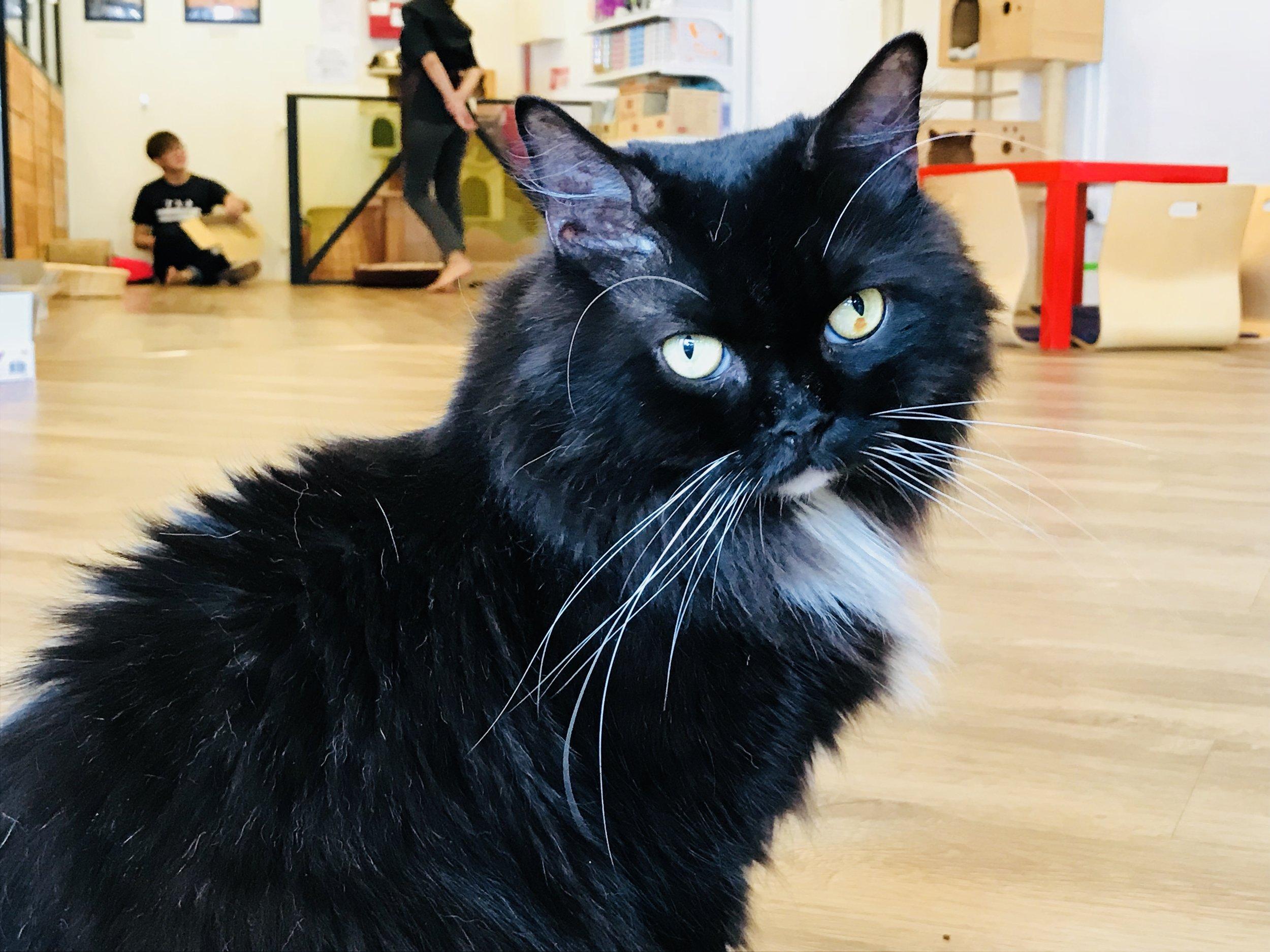 Cat Cafe COTD.jpg
