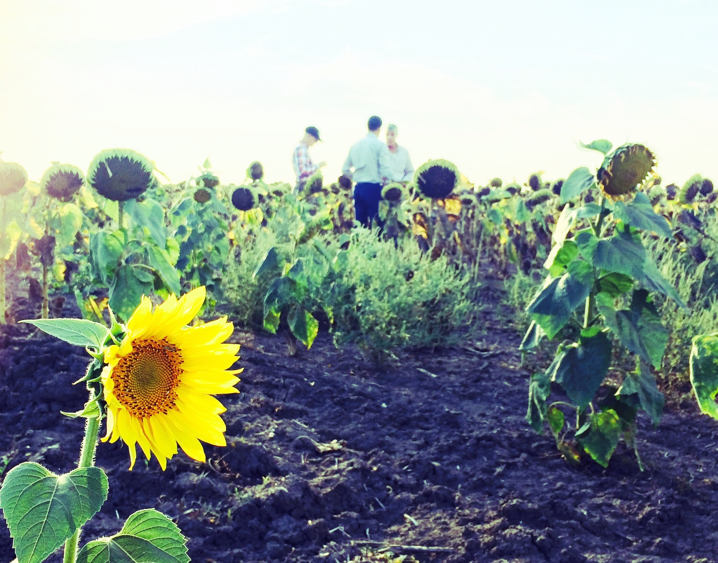 Sunflowers growing in Ukraine's famously black and fertile chernozem soil.