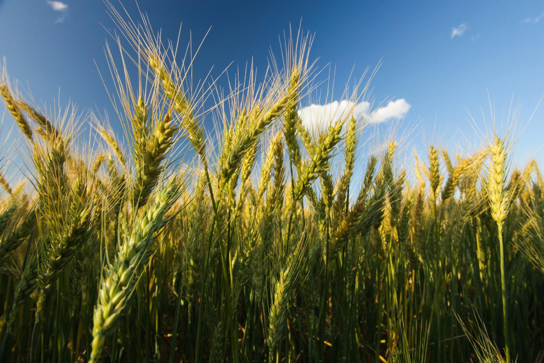 Wheat_Roma_QLD2.jpg