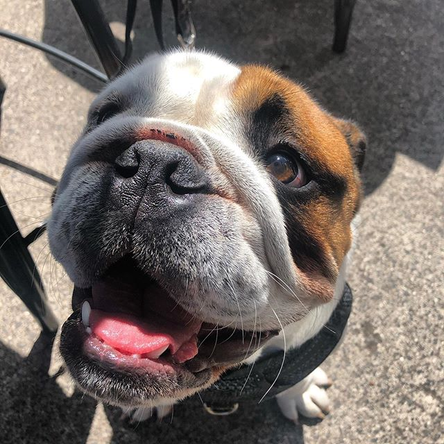 This is Pumbaa and we are in love 😍 . . . . . . . #theoriginalbrüger #cafelife #dogslife #dogsoffootscray #britishbulldogs #bulldogs #bulldogslife #dogctazy #wefo