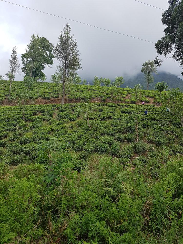 Tea plantation en route Kandy.jpg