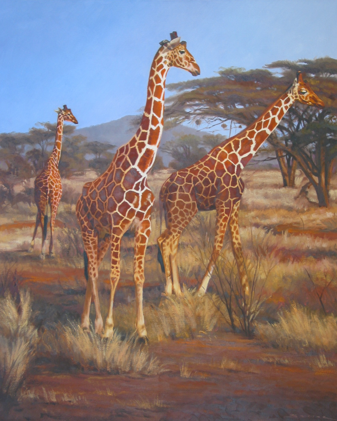 Reticulated Giraffes/Samburu Kenya, 30 x 24
