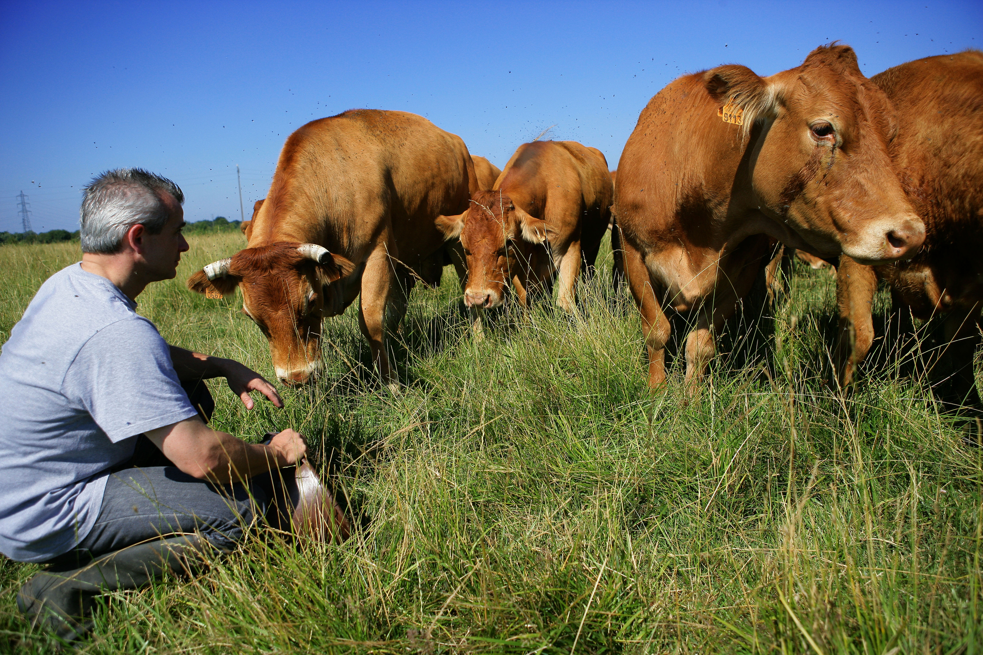Grass and cows.jpg