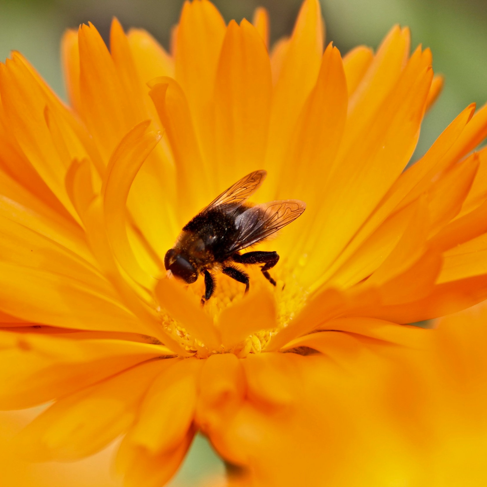 bee polinating a flower