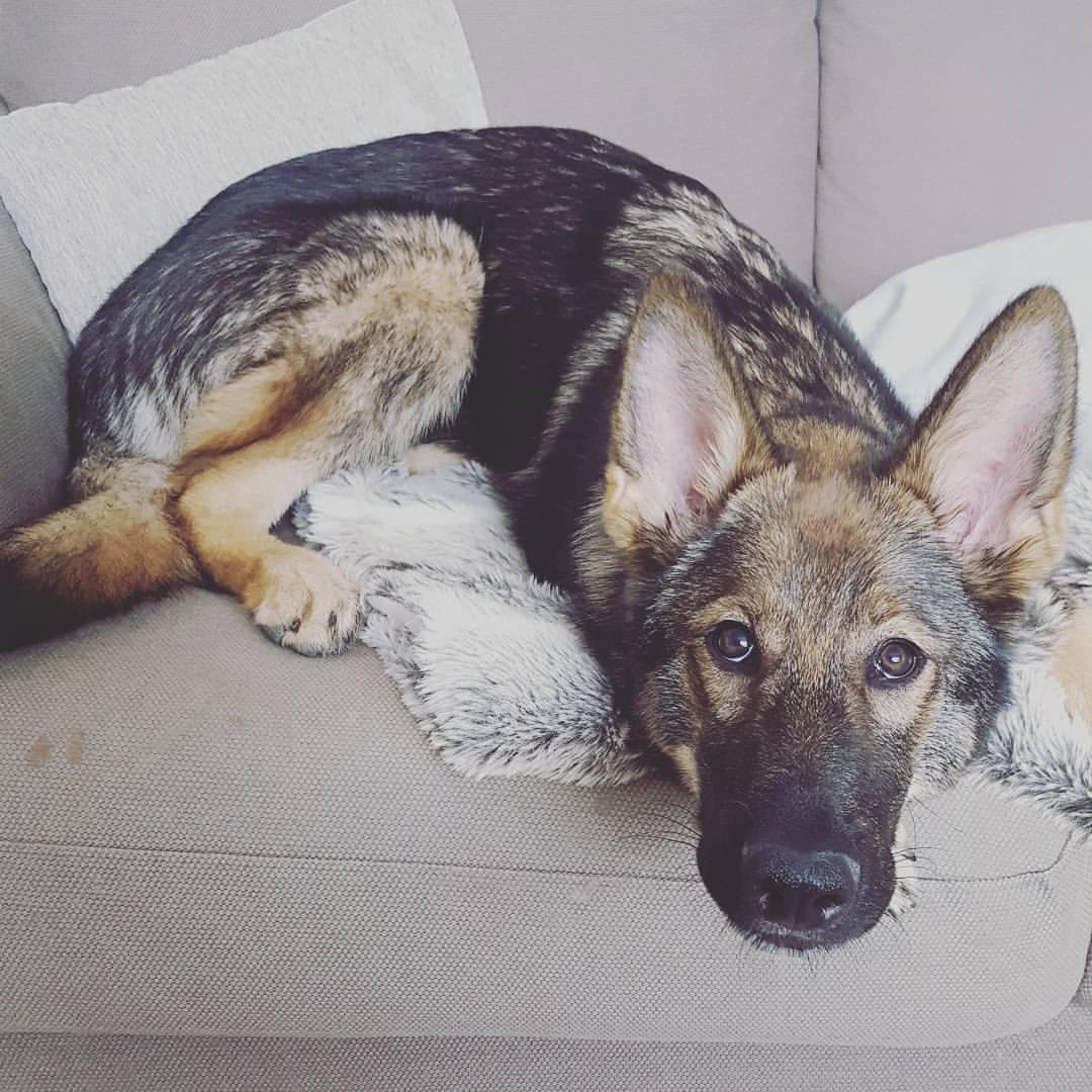 dog-sitting-large-breeds