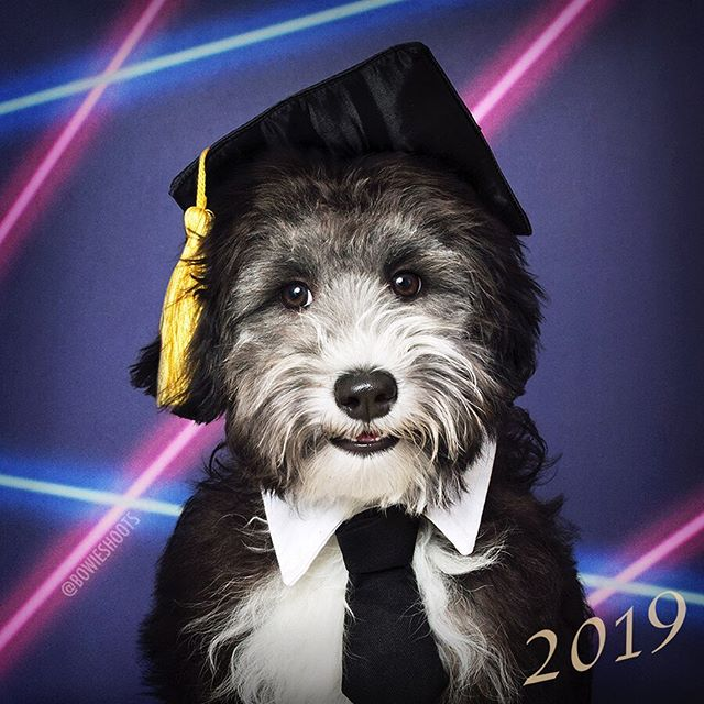 (A very proud) Puppy Kindergarten graduate: Hudson!🤩// @minidoodhudson . . . Want your very own school pawtrait? We host Picture Day's 1-2x a month in the East Village! DM us for more information📸✨ #bowieshoots
