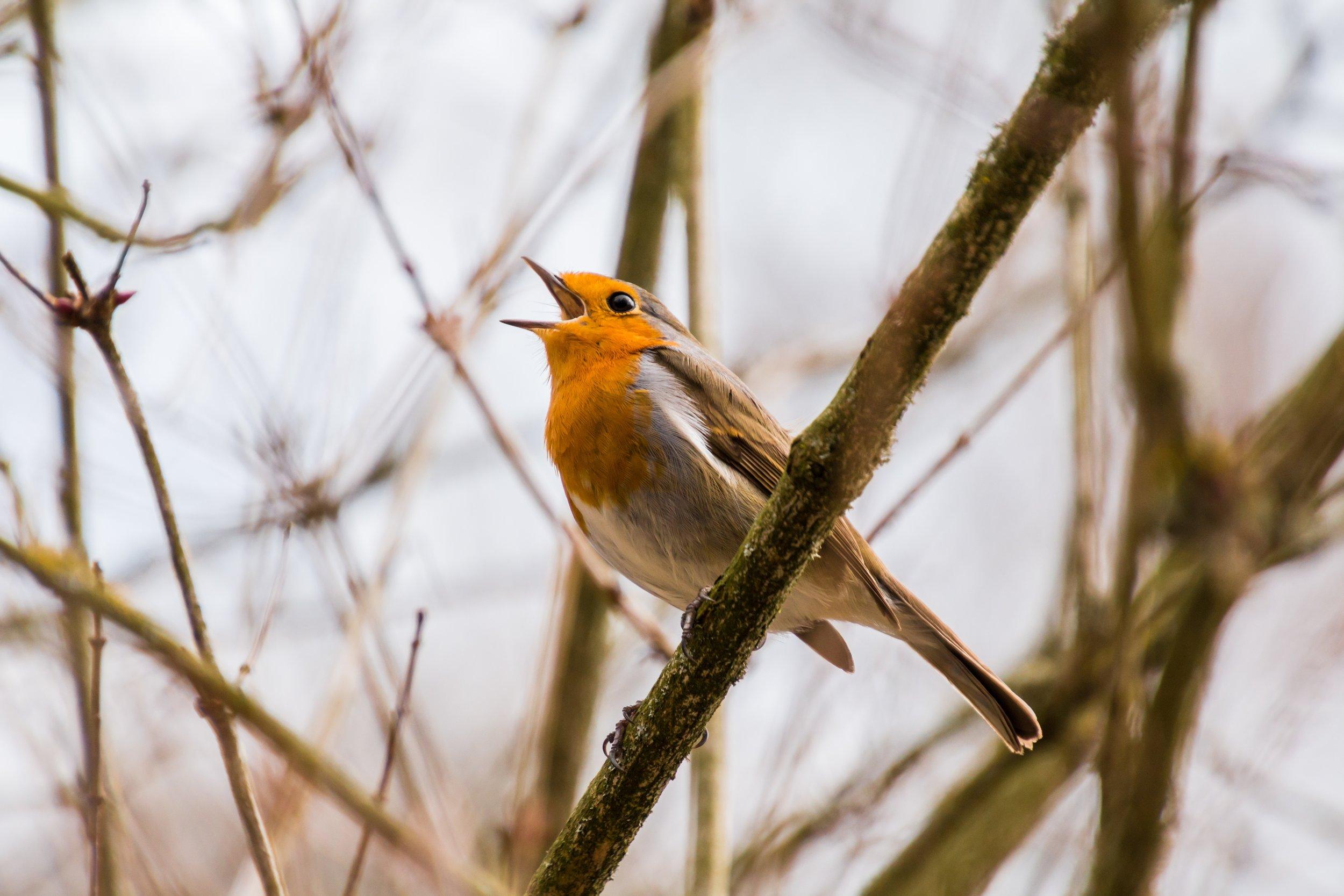 birdsong.jpeg