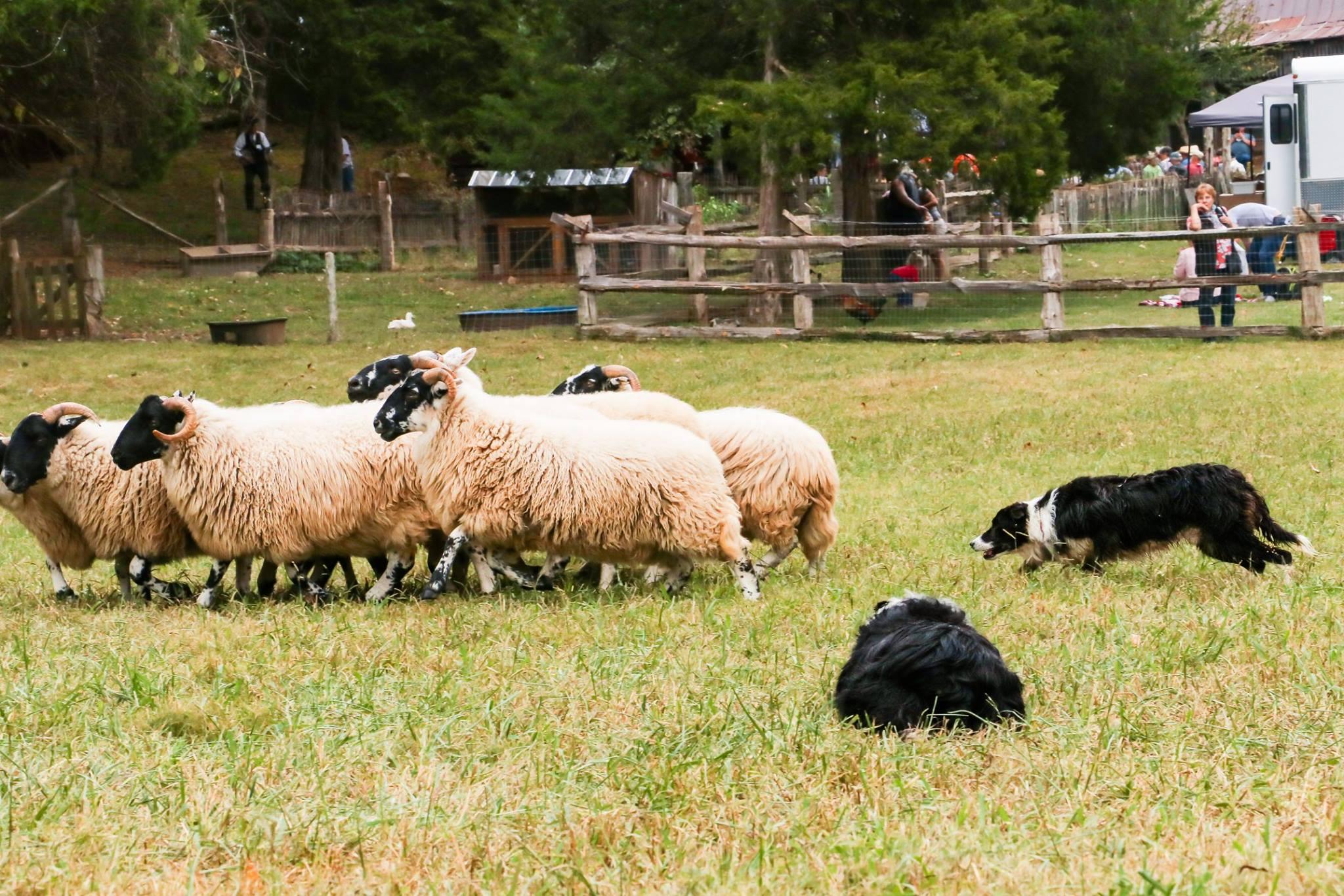 Lakin_Sheepdogs5.jpg