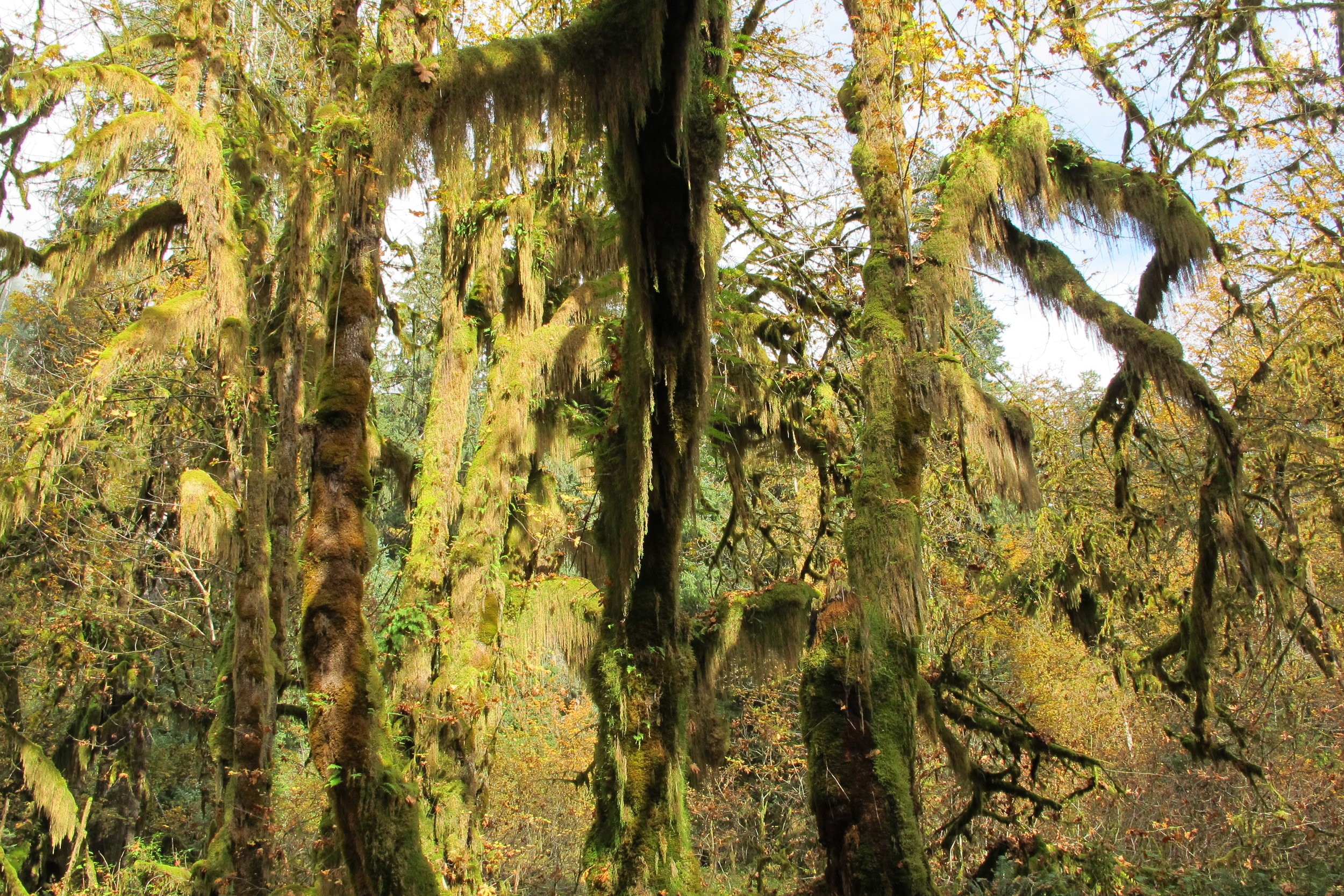 HOH RAINFOREST, OLYMPIC NATIONAL FOREST, WASHINGTON