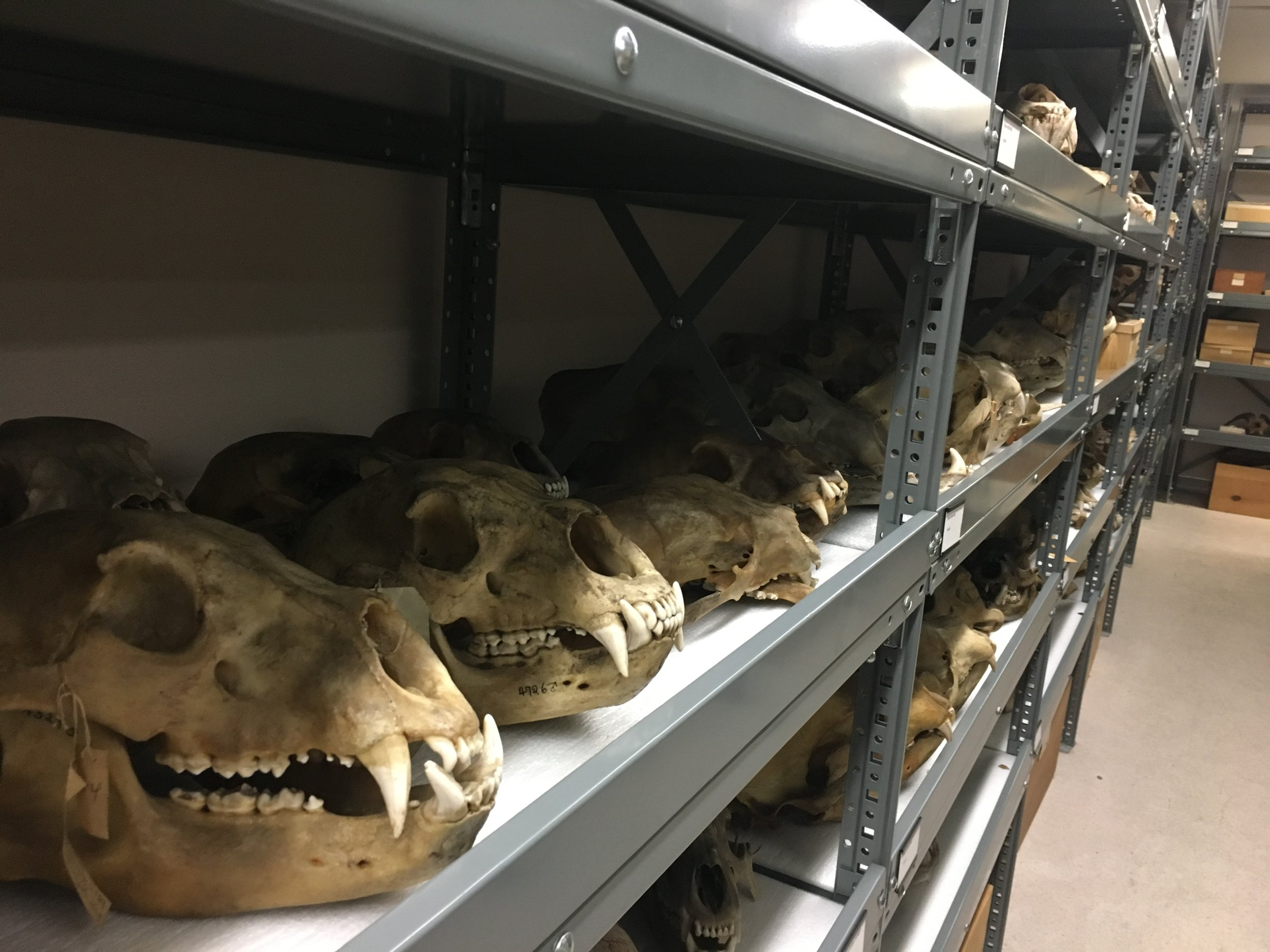 Grizzly skulls at the Museum of Vertebrate Zoology, UC Berkeley.