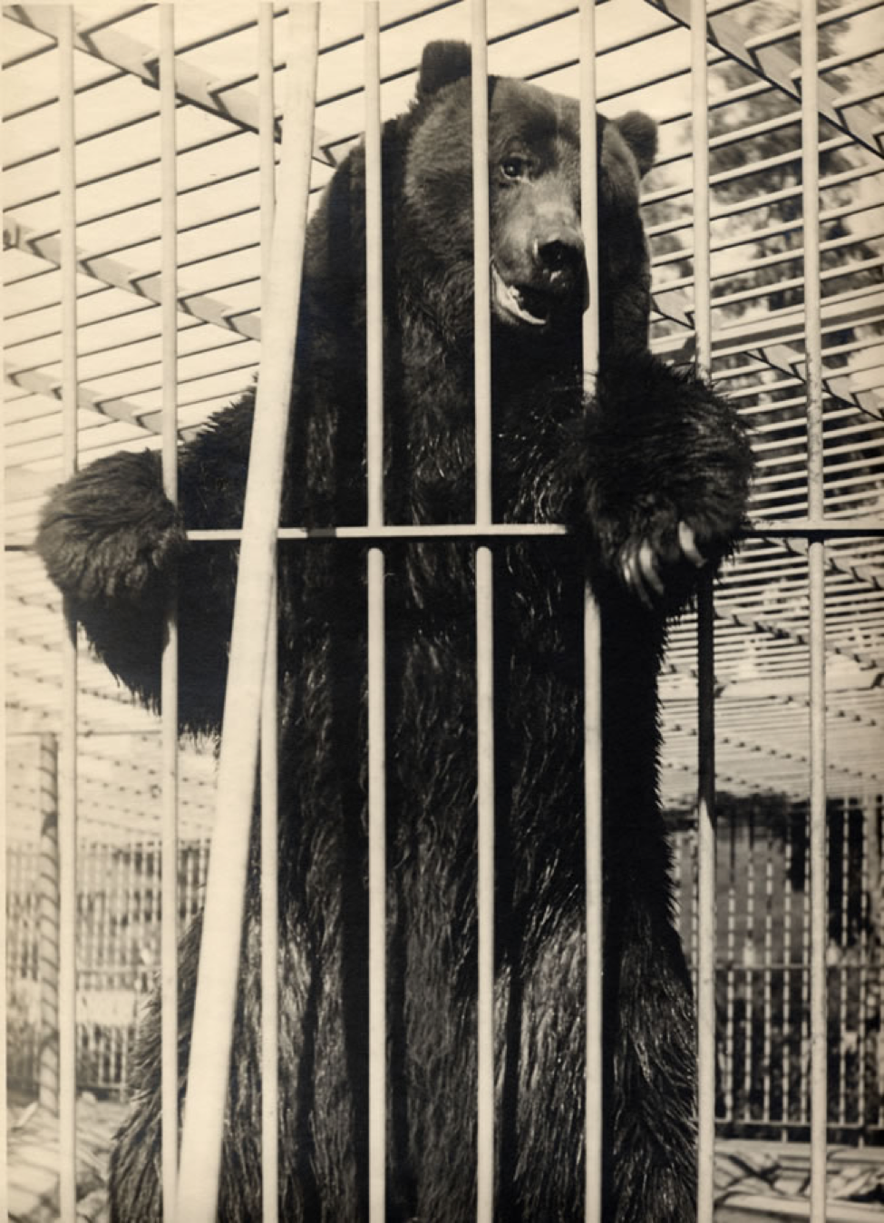 Monarch, the last captive California grizzly, in San Francisco around 1900.