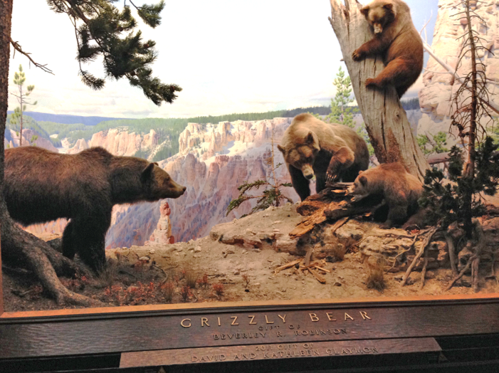 For the last century, Californians have only seen grizzly bears in museums, zoos, or distant places like Yellowstone National Park. Photo: American Museum of Natural History, New York.