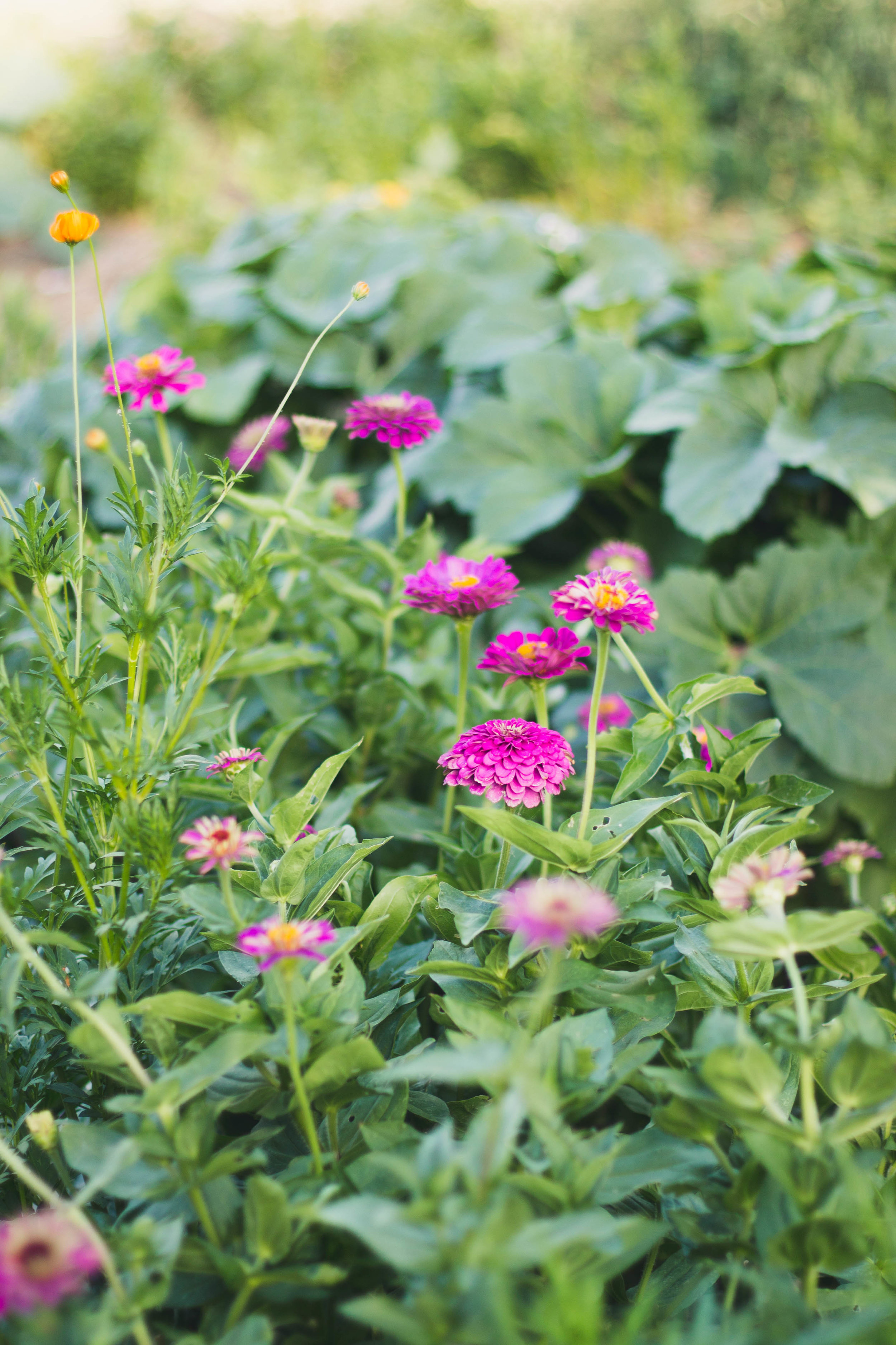 who doesn't love zinnias? & that's okra in the background.