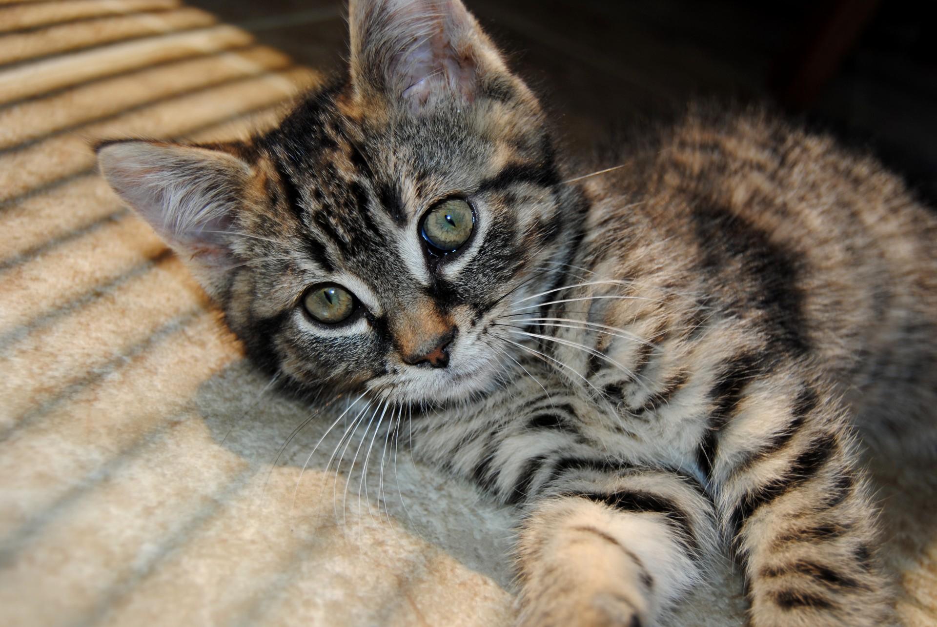 Cute Kitten public doiman