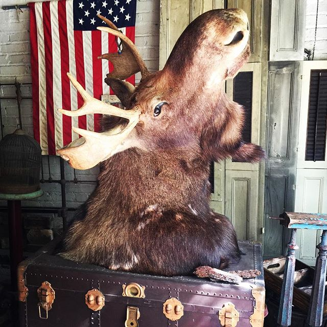 Marvelous moose @Maison Bergogne. #maisonbergone #juliettehermant #narrowsberg #antiques #moose #taxidermy #style #stylist #decorator #environmentalist #sustainability #smallbusiness