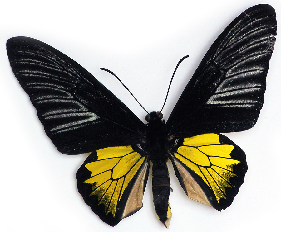 Black and Gold Birdwing