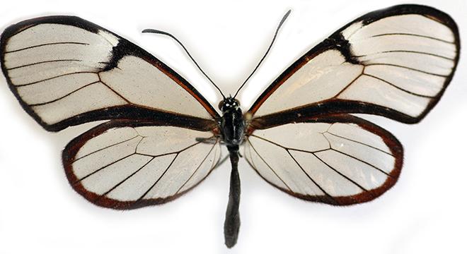 Glasswinged Butterfly