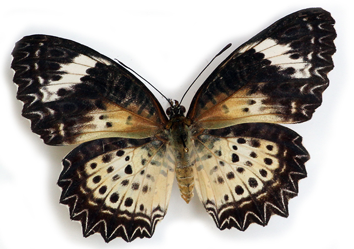 Leopard Lacewing (female)