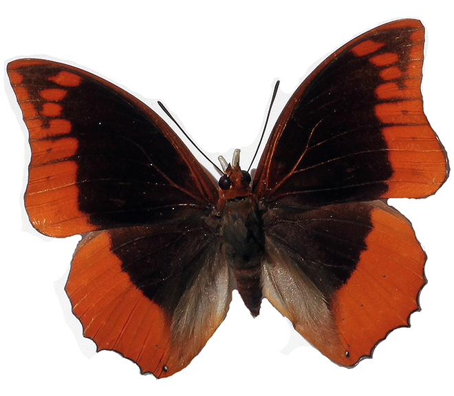 Flame-bordered Charaxes