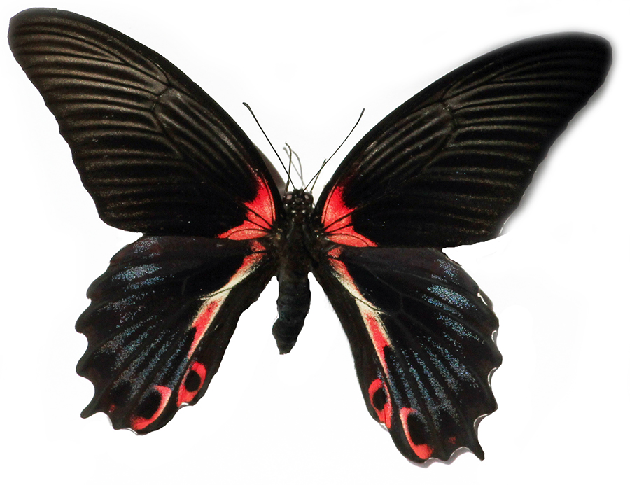 Scarlet Mormon (female)