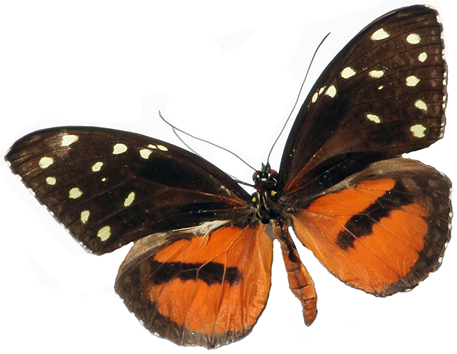 Spotted Tiger Glassywing