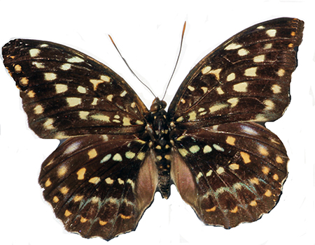 Archduke (female)