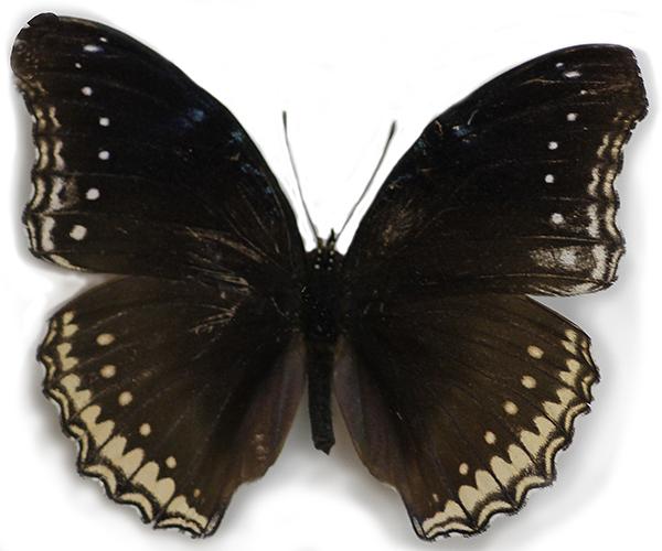 Great Egg-Fly (female)