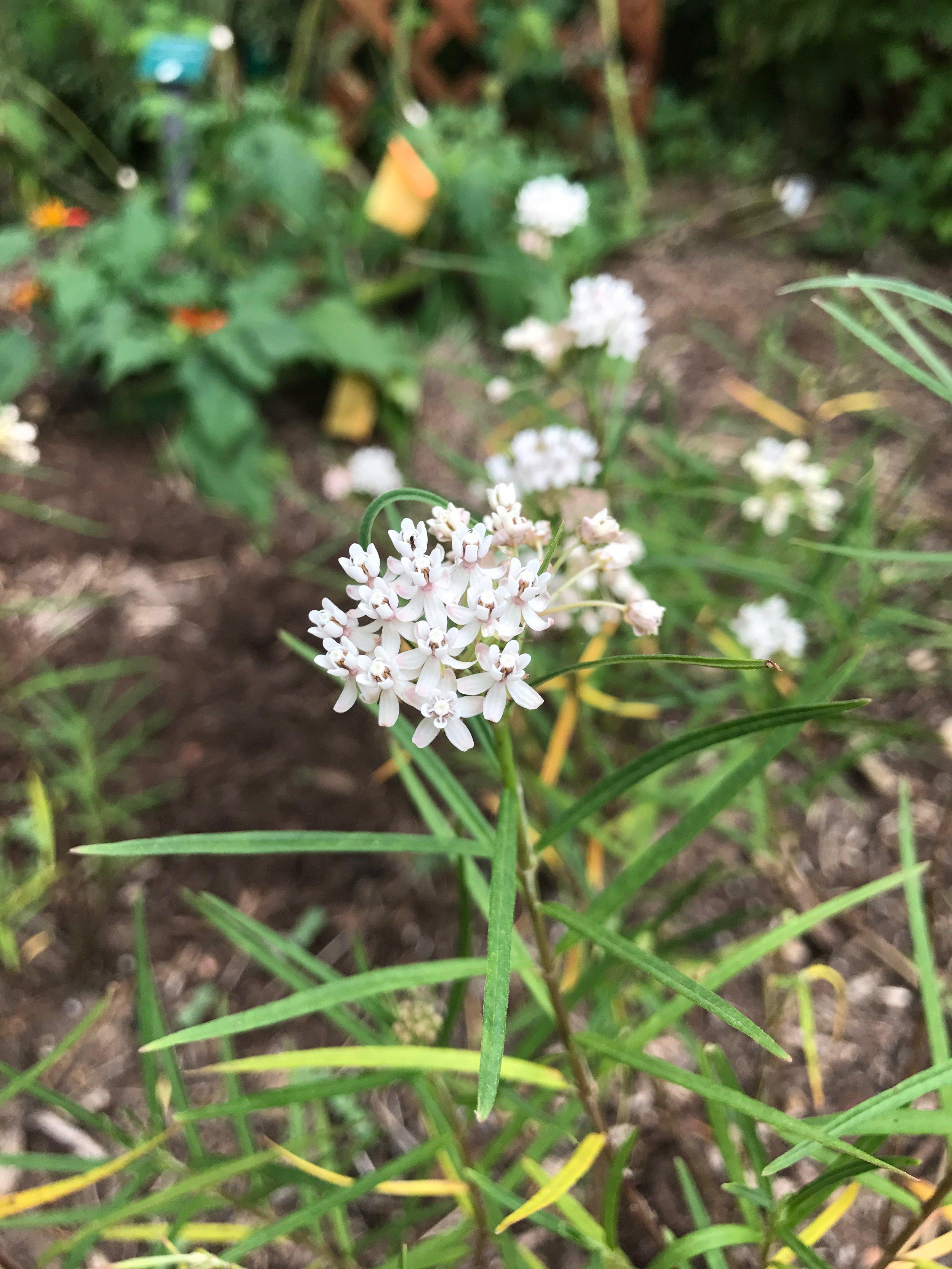 Desert milkweed.jpeg
