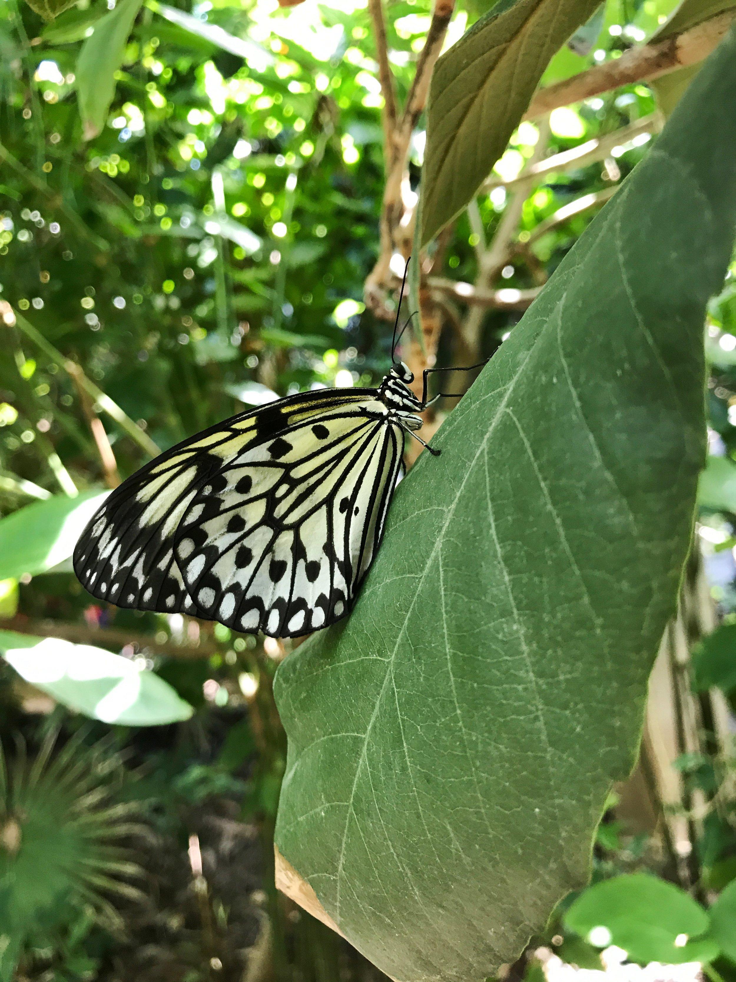 Paperkite Butterfly.jpeg
