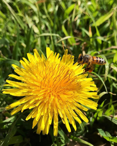 Bee on Dandelion.PNG