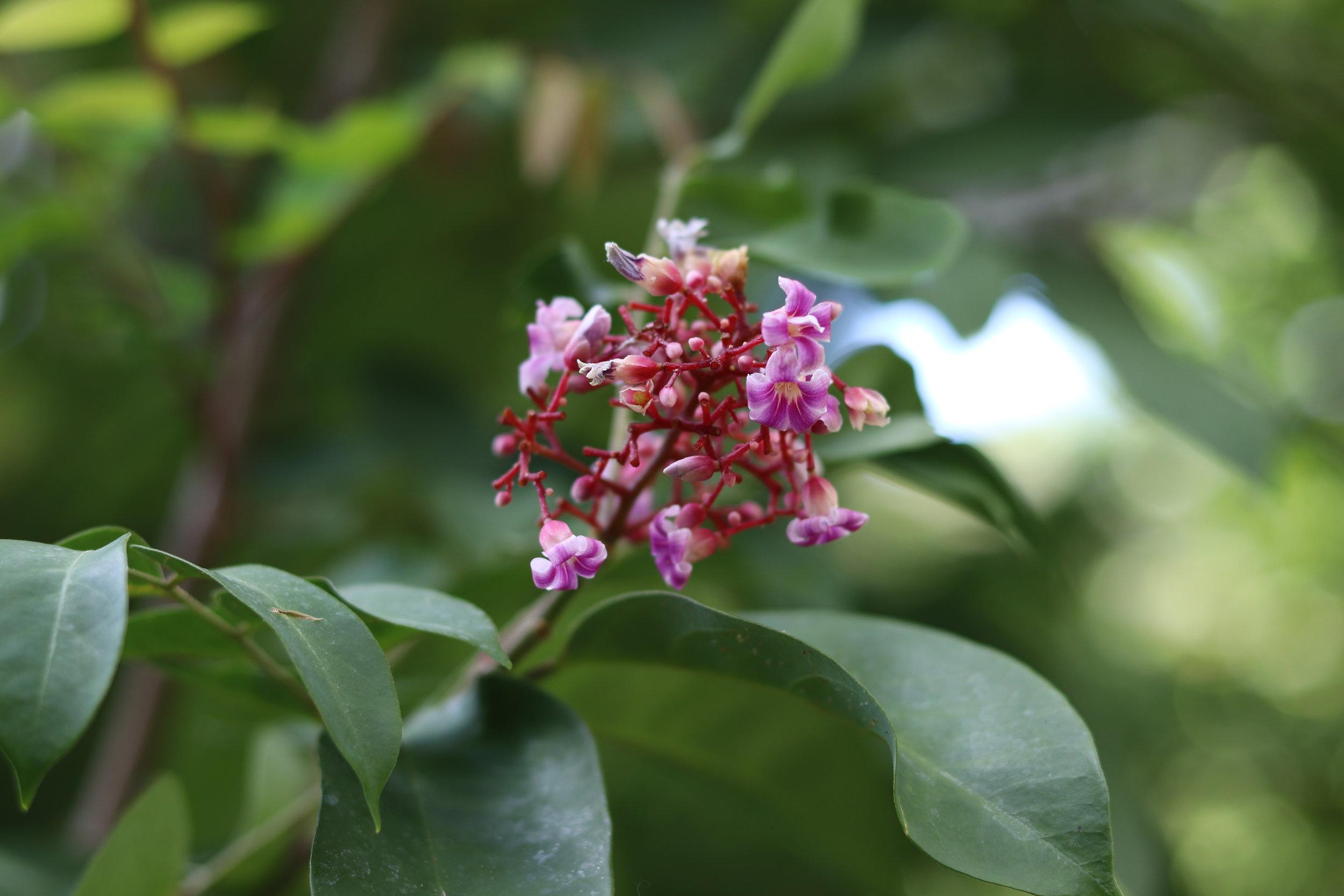 Starfurit flowers.