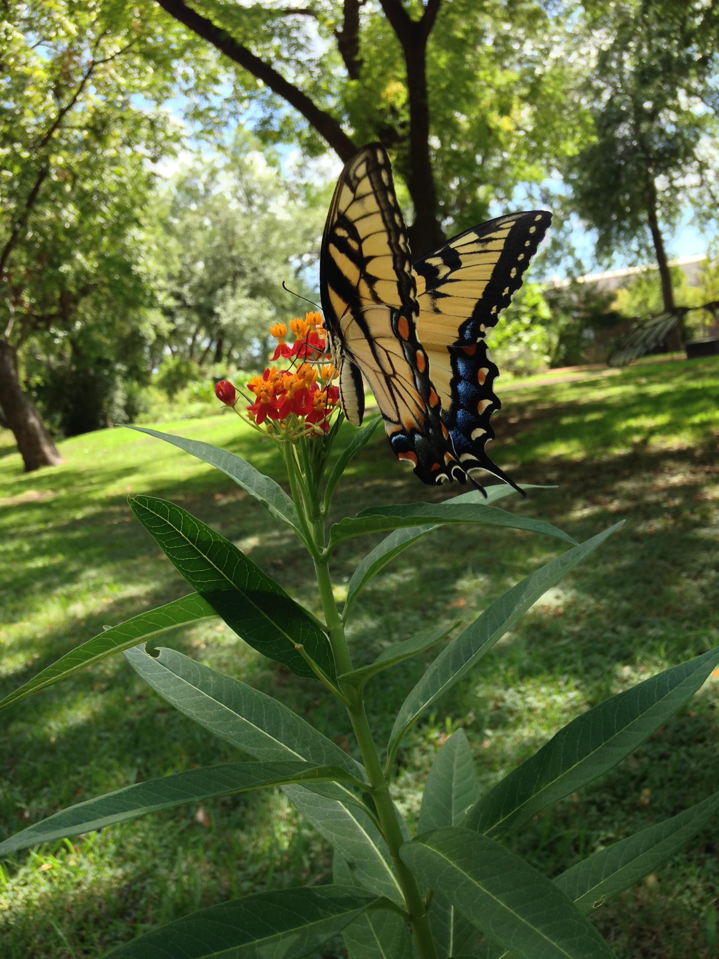 Milkweed Swallowtail.jpg