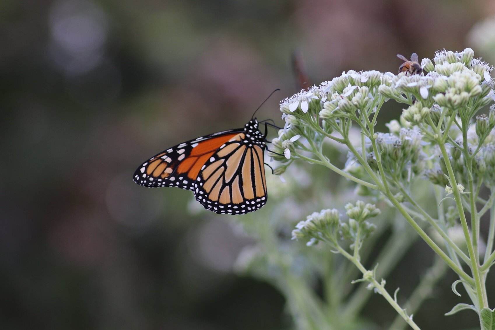 Texas Monarch Festival - October 17-20Join Texas Discovery Gardens and the National Wildlife Federation to celebrate the marvelous monarch butterfly!