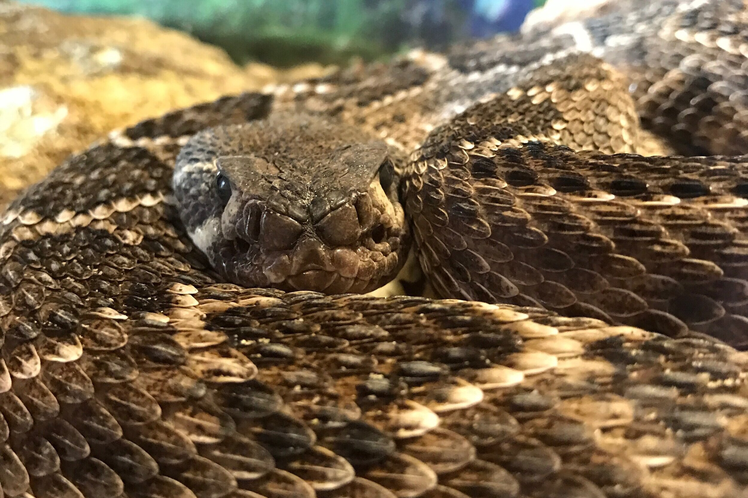 2019 Lone Star Rattlesnake Days - October 11 – October 13CLICK FOR FULL SCHEDULEExperience one of the largest rattlesnake displays available in the United States! Venom extraction demonstrations by the Kentucky Reptile Zoo and educational demonstrations by recognized experts!