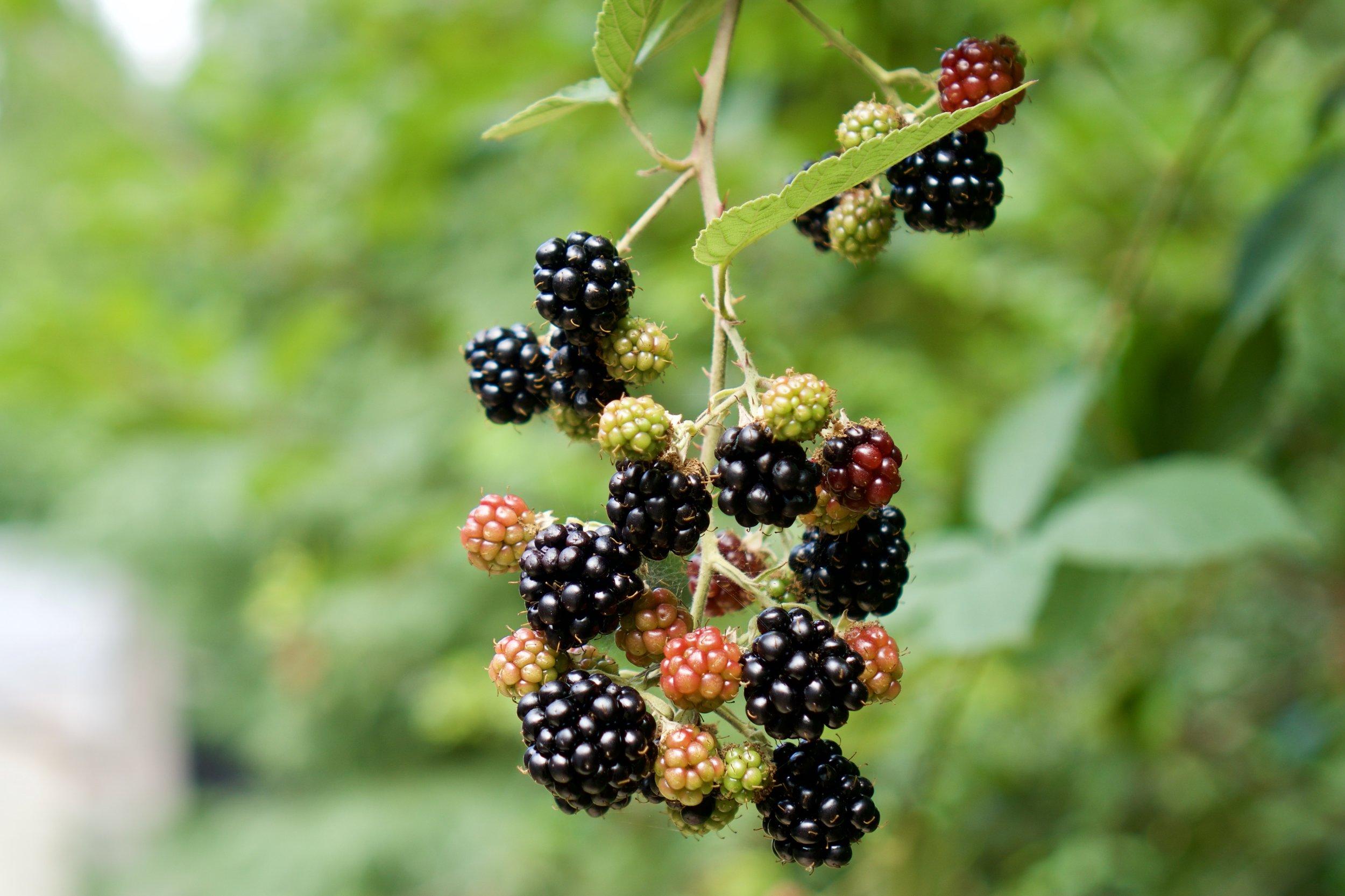 Berries in progress.