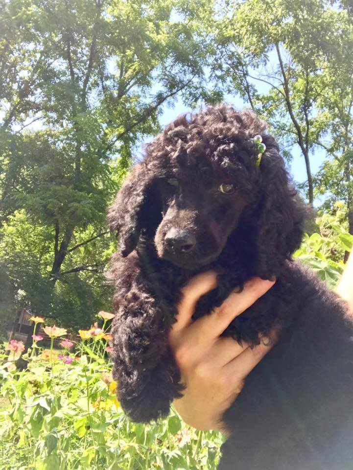 Swan Field Farms Poodles and Labradoodles Puppies for Sale