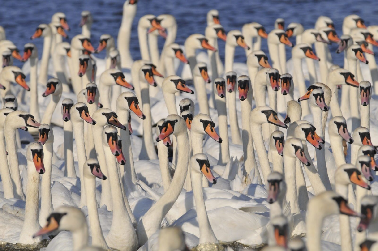 A large ample size of white Swannery denizens